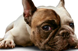 Dog lying down on a white background as a cute french bulldog looking sad and lonely or laying on the floor as a relaxed obedient and trained pet canine as a symbol for veterinary care.